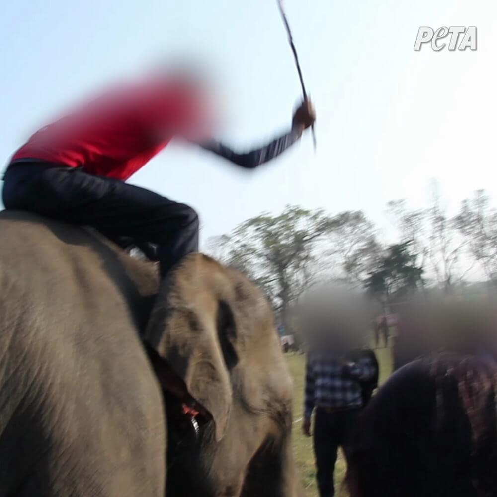 Cruauté sans frontières : des éléphants battus jusqu'au sang lors d'un festival népalais ; Renault rompt son partenariat | Actualités | PETA France