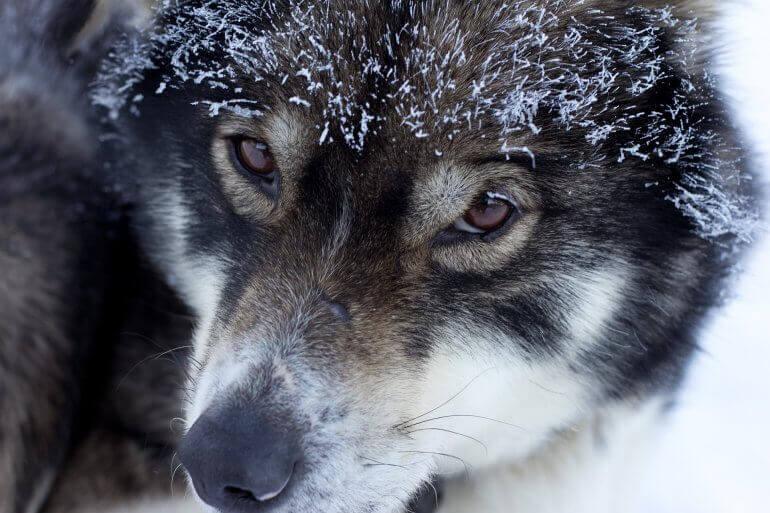 Jerome Flynn de 'Game of Thrones' appelle à ne pas acheter de 'loups géants'