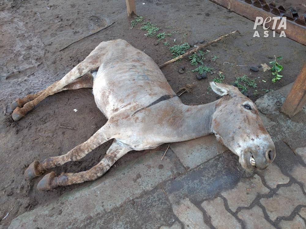 Au Kenya, des ânes massacrés pour la « médecine » traditionnelle chinoise