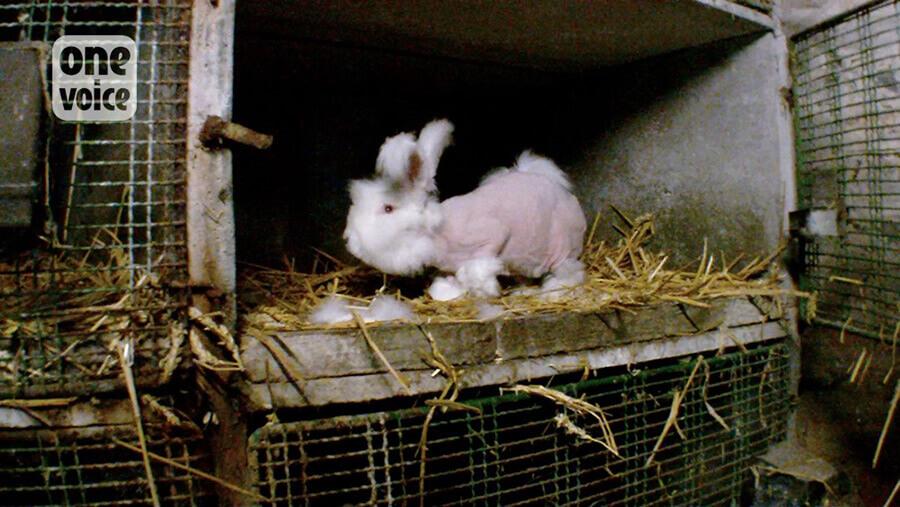 One Voice attaque le ministère de l'Agriculture et de l'Alimentation devant le Conseil d'État alors que les poils des lapins sont toujours arrachés pour l'angora