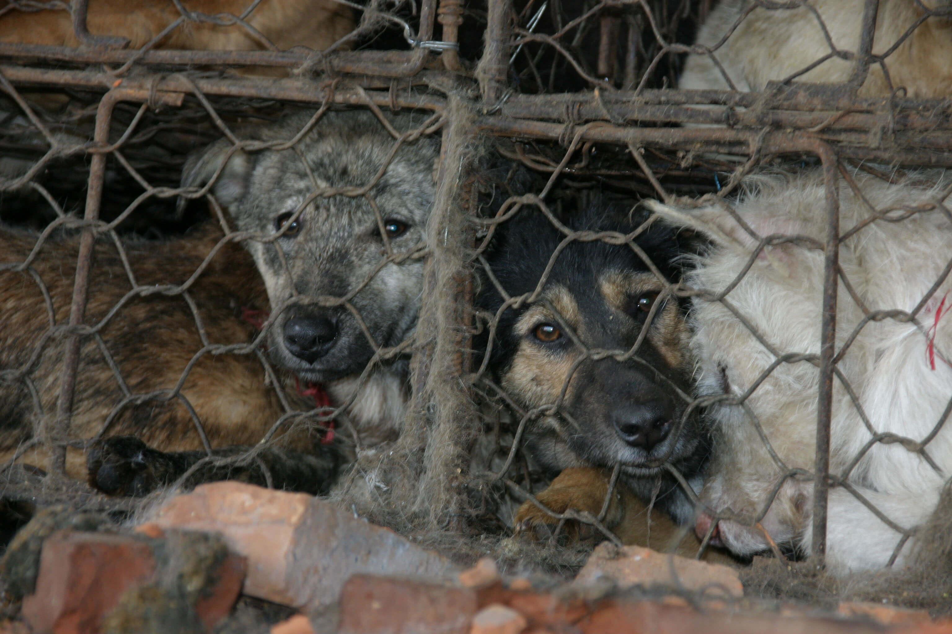 Le festival de la viande de chien de Yulin s'est ouvert cette semaine – pour la dernière fois, espérons-le