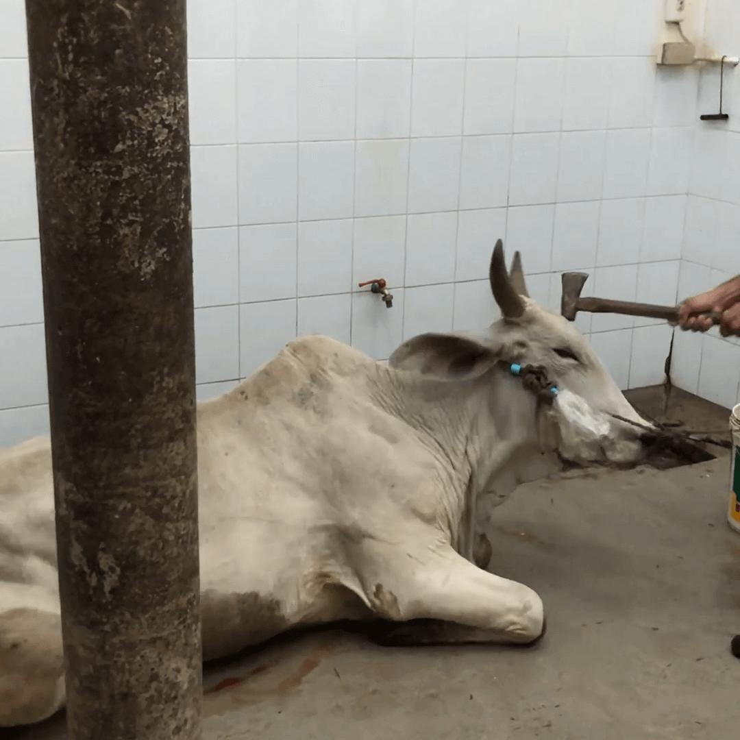 Des vaches matraquées avec des marteaux : voici l'industrie internationale du cuir