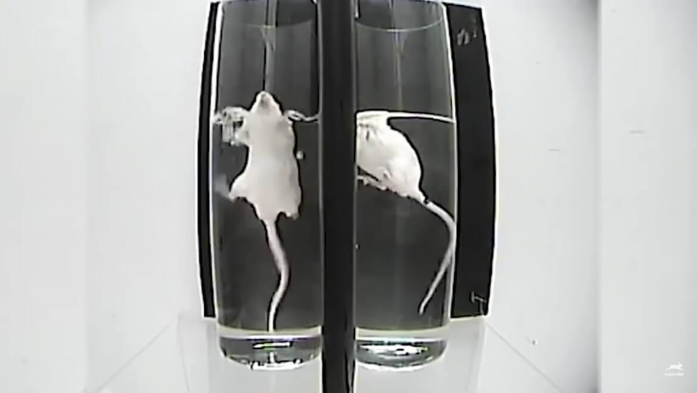Des chercheurs piègent de petits animaux dans des contenants d'eau jusqu'à ce qu'ils arrêtent de nager