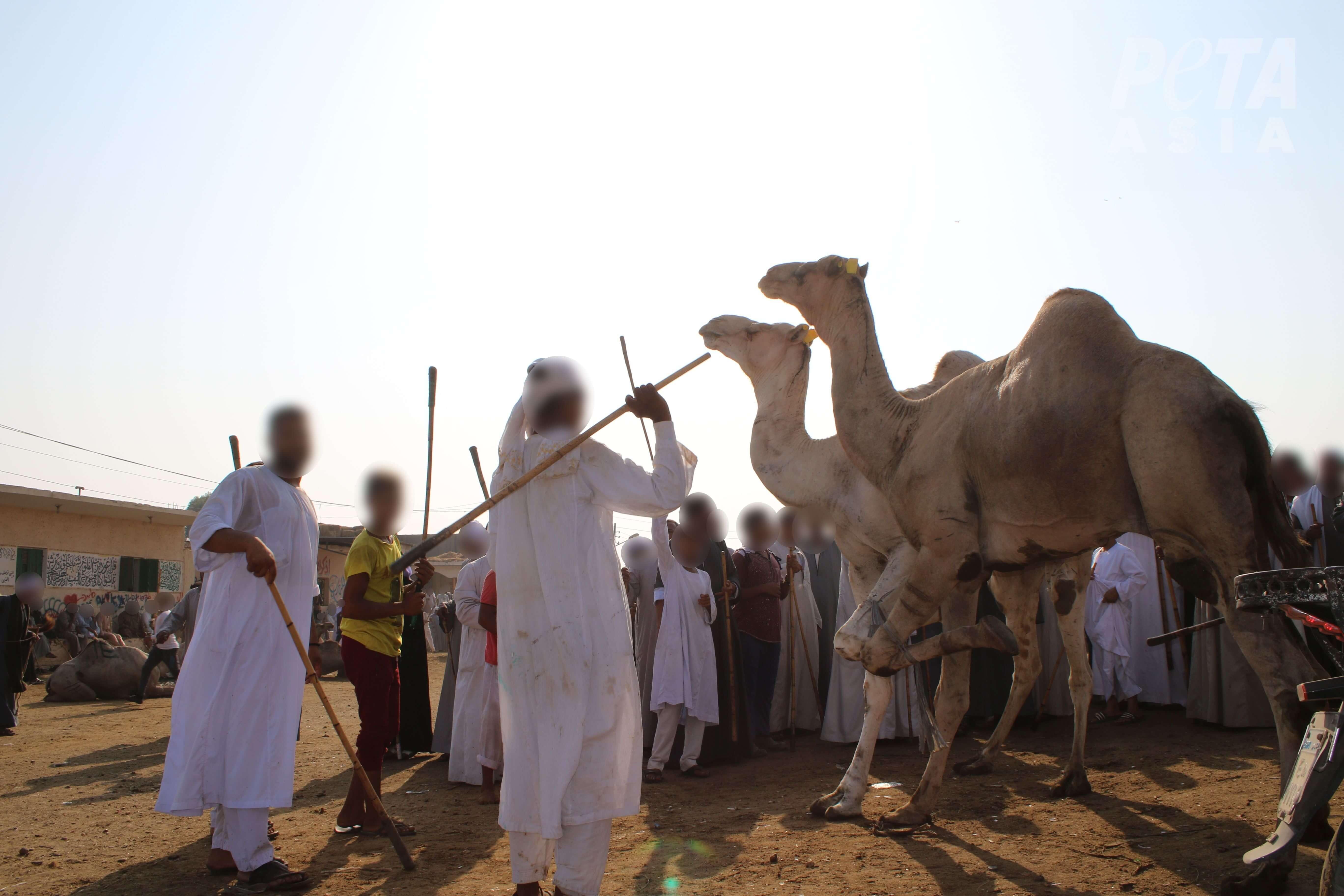 MISE À JOUR : Trois personnes accusées d'avoir torturé des dromadaires en Égypte suite aux révélations de PETA