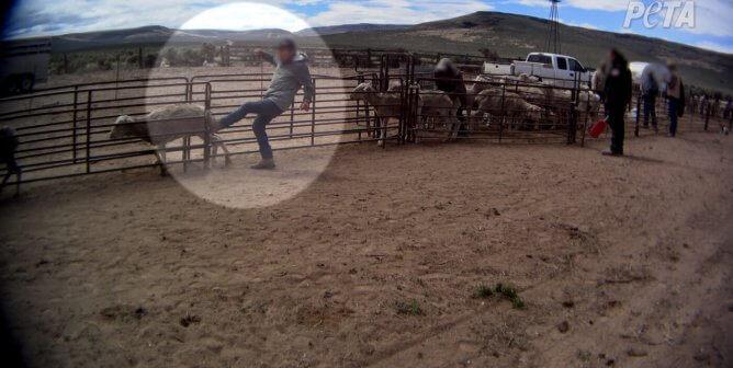 Nouvelle enquête de PETA États-Unis : des moutons frappés et malmenés pour la laine « durable »