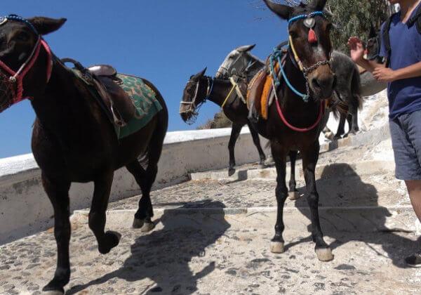 La souffrance des ânes et des mules à Santorin continue – agissez maintenant !