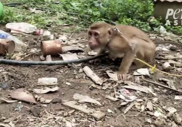 Tourmentés, rendus fous : des singes enchaînés ont-ils cueilli vos noix de coco ?