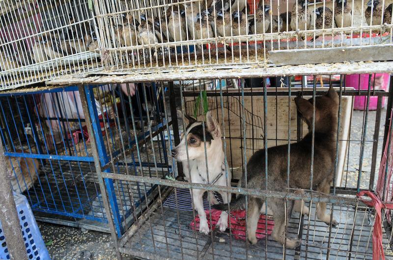 En Corée du Nord les chiens seraient réquisitionnés afin d'être mangés