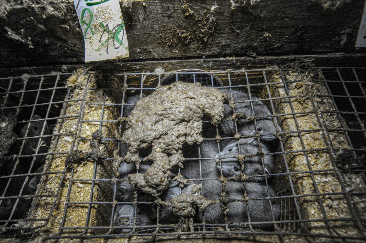 COVID-19 chez des visons : PETA appelle la ministre Barbara Pompili à fermer immédiatement les élevages