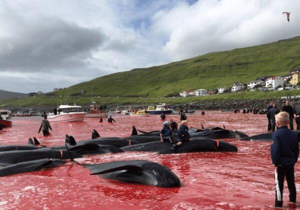 Mettez fin au massacre des dauphins et des baleines dans les îles Féroé