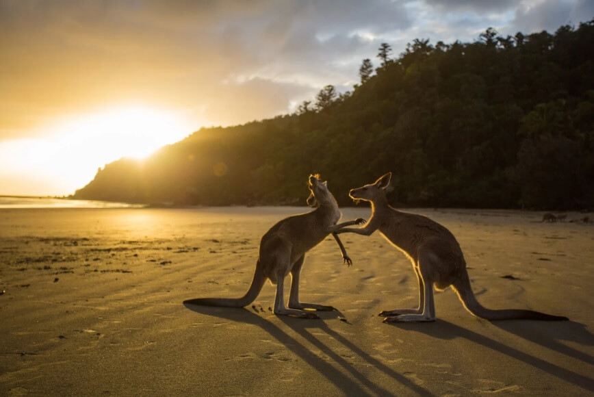 Prada arrête le cuir de kangourou !