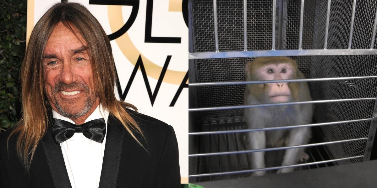 Iggy Pop fait don d'une chanson à PETA pour mettre fin aux cruelles expériences sur les singes