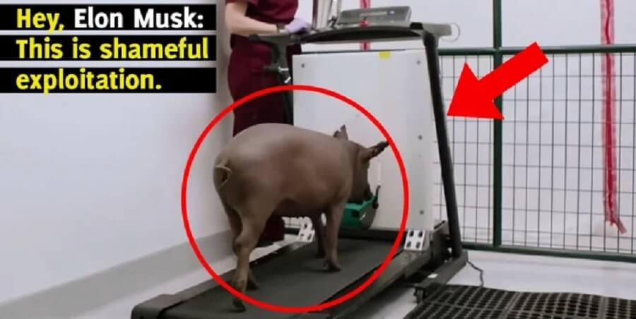 Elon Musk, implantez-vous le Neuralink et laissez les cochons tranquilles