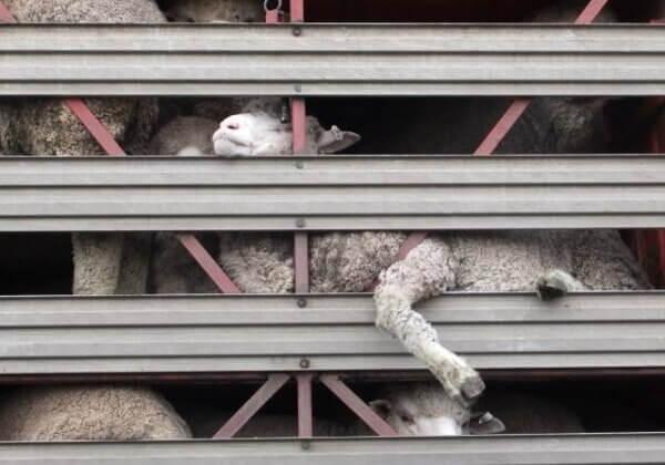 Allbirds a tout faux : les moutons souffrent pour des chaussures