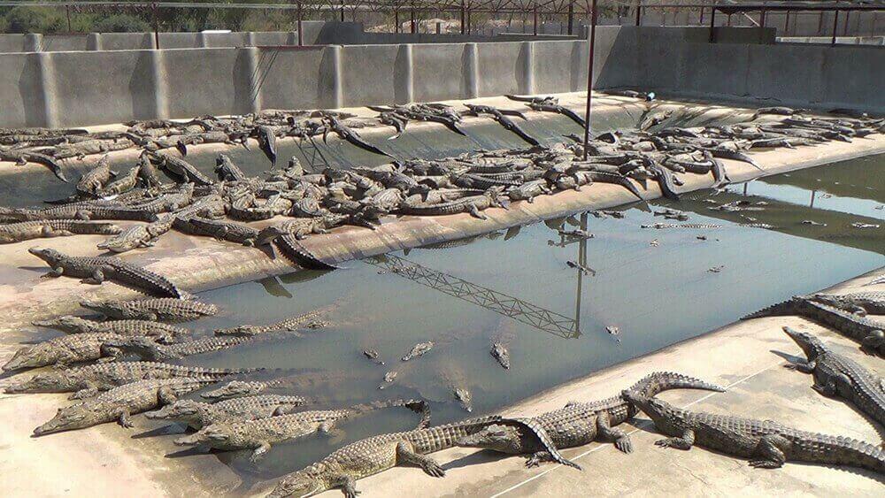 Hermès et Louis Vuitton sont-ils derrière ce projet d'élevage intensif de crocodiles ?