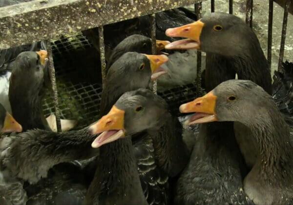 Moins de souffrance, plus de bonheur – Annecy et Villeurbanne, vont-elles bannir le foie gras ?