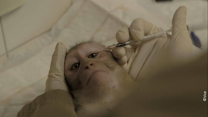 Journée mondiale des singes : 114 884 personnes défendent les singes du plus grand laboratoire de recherche sur les primates d'Europe