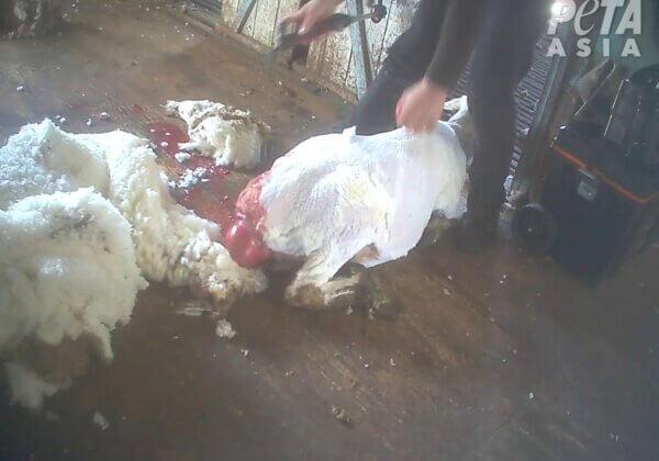 Moutons battus et tailladés : cette 14ème enquête sur l'industrie de la laine prouve que rien n'a changé
