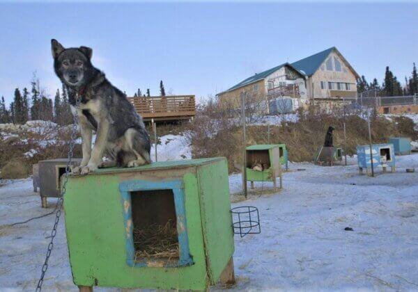 Dites aux hôtels Millennium de couper les liens avec la course mortelle de l'Iditarod
