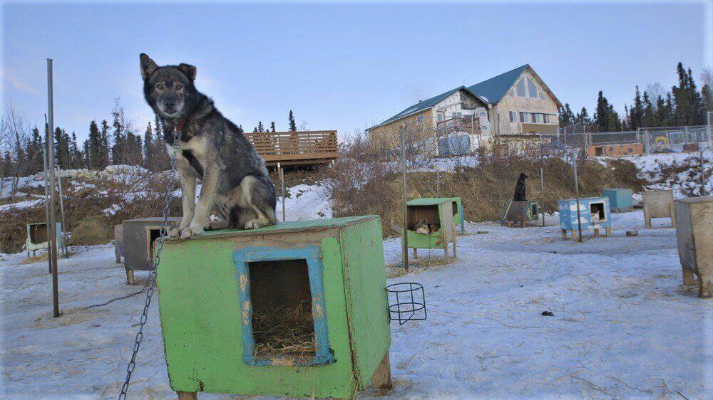 Victoire pour les chiens ! ExxonMobil décide de mettre fin au parrainage de l'Iditarod