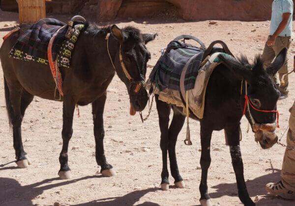 Révélations sur les animaux en souffrance à Petra en Jordanie