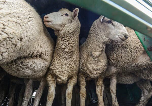 Grande nouvelle : la Nouvelle-Zélande annonce l'interdiction totale de l'exportation d'animaux vivants !