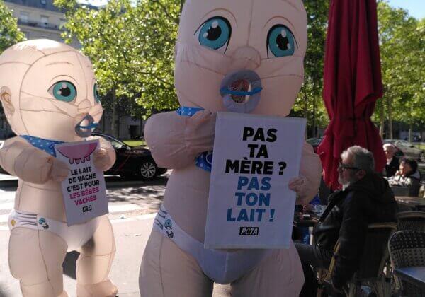 Pour la fête des Mères des « bébés » géants appellent les humains à arrêter le lait