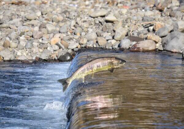 10 raisons de ne pas manger de saumon