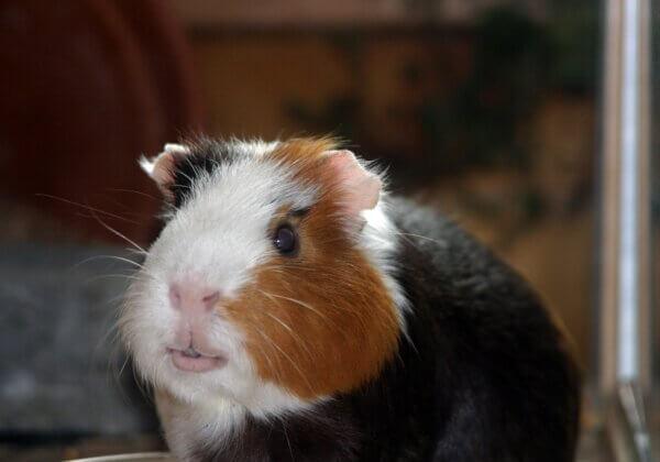Un entrepreneur congolais annule son projet d'envoyer un cochon d'Inde dans l'espace après une demande de PETA États-Unis