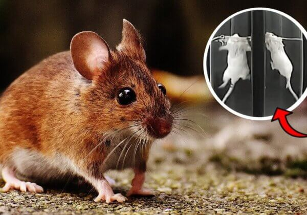 L'article de scientifiques de PETA États-Unis met à mal la défense de l'industrie pharmaceutique concernant le test de nage forcée