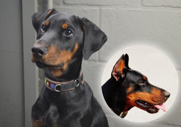 Voici pourquoi la coupe des oreilles des chiens est cruelle